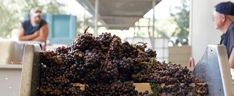 grapes on conveyor belt at Vino Noceto